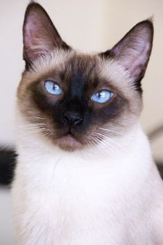 """my cat """"Hoffy"""" Kittens Cutest, Cats And Kittens, Cute Cats, Kitty Cats, Siamese Dream, Siamese Cats, Seal Point Siamese, Tonkinese, Cat Towers"""