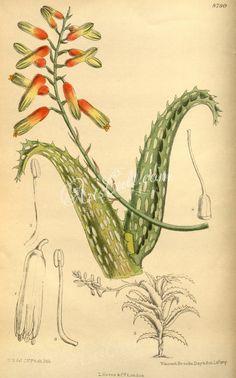 concinna - high resolution image from old book. Family Illustration, Botanical Illustration, Socotra, Habitat Destruction, Green Tips, Autumn Leaves, Aloe, Habitats, Vintage World Maps