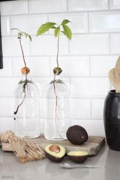 Plant Avocado: Step-by-step instructions - from core to avocado plant pflanzen Aquaponics – Jetzt können Sie ganz einfach Ihr eigenes Gemüse anbauen Indoor Garden, Garden Plants, Indoor Plants, Yucca, Decoration Plante, Plants Are Friends, Interior Plants, Plantation, Green Life