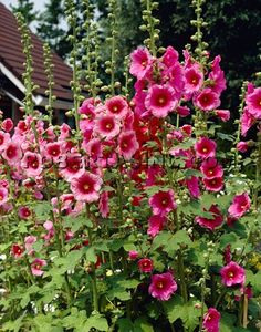 Hollyhock - Alcea Rosea. I love hollyhocks as a tall back border...