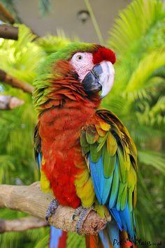 How do Parrots Talk? - http://petplays.co.uk/how-do-parrots-talk/