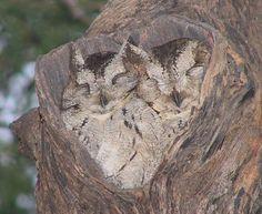 owl photos | Bubo coromandus