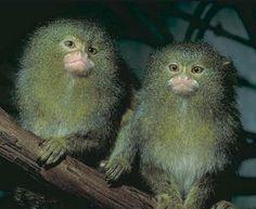 Marmosets - teeny monkeys