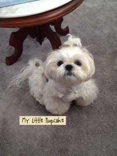 Kupcake….love this little dog.  He is so adorable.