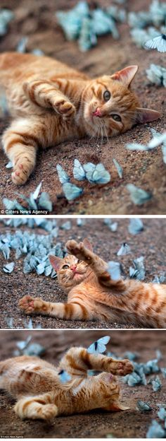 Kitten and Butterflies - Leningrad Oblast, Russia ( http://www.dailymail.co.uk/news/article-2168654/Life-like-butterfly-kitten-finds-field-blue-winged-beauties.html?ito=feeds-newsxml )