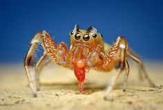 Adult Male Tutelina elegans Jumping Spider Eating a Red Mite by Thomas Shahan, via Flickr