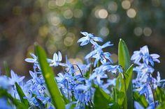 Scilla blue spring flowers by Anna Prenzel Blue Spring Flowers, Blue Springs, Anna, Plants, Plant, Planets