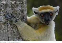Golden Crowned Sifaka | Golden-crowned Sifaka (Propithecus tattersalli) or Tattersall's Sifaka ...One of the most rare of lemurs on Madagascar.  Estimated population at 6,000 to 10,000.  Losing their habitats to logging and agriculture.  Critically endangered.