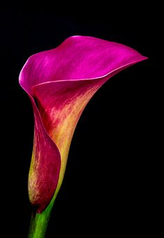 ~~purple calla lily by Herbert Bräutigam ~~