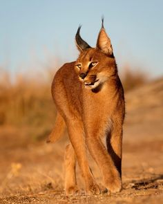 Small Wild Cats, Big Cats, Cool Cats, Rare Cats, Exotic Cats, Caracal Cat, Animals And Pets, Cute Animals, Gato Grande