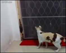 CAT GIF • Clever Cat finds and opens a small Cat door Amazing and graceful Cats