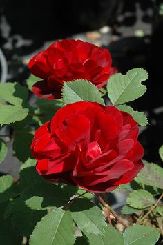 Rosa 'Hope for Humanity'