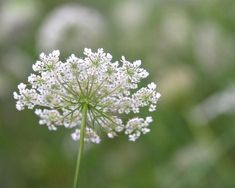 Queen Anne's Lace Queen Anne's Lace Flowers, Romantic Flowers, Flower Landscape, Spring Landscape, Nature Photography Flowers, Lace Painting, Small White Flowers, Macro Flower, Queen Annes Lace