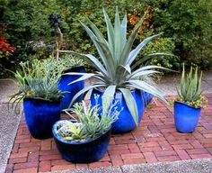 Blue pots!  Great idea, agave in pots.  Warning, never plant an agave in the ground in Texas.  You'll never get rid of all the babies.