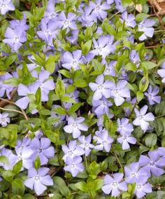 Vinca Minor - Maagdenpalm