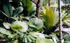 licuala orbicularis
