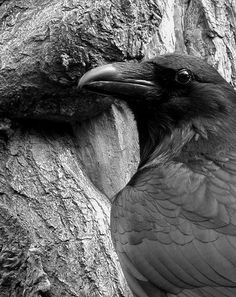 Crows Ravens Jackdaws Love these birds Love Birds, Beautiful Birds, Blackbird Singing, Quoth The Raven, Photo Animaliere, Raven Art, Raven Tattoo, Jackdaw, Crows Ravens
