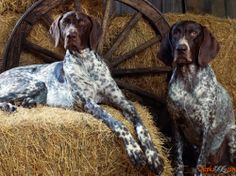 Active and lively, talented English Pointer