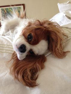Cavalier King Charles Spaniel forever Source by fernandinabeach The post forever appeared first on Coulson Puppies. Cute Animals Puppies, Cute Little Animals, Cute Dogs And Puppies, Cute Funny Animals, Doggies, Puppies Puppies, Perro Cocker Spaniel, Cavalier King Spaniel, King Charles Puppy