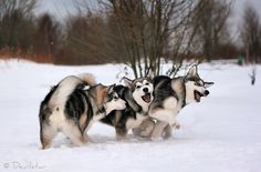 Adorable Alaskan Malamute dogs at play Malamute Dog, Alaskan Malamute, Animals Beautiful, Cute Animals, Greenland Dog, German Spitz, American Akita, Japanese Spitz, Snow Dogs
