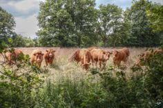 Kudde runderen tussen Rheebruggen en Ansen