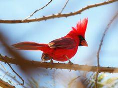 Красный кардинал (Cardinalis cardinalis)