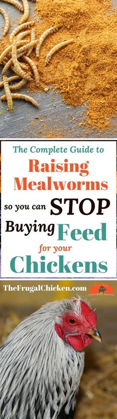 Chicken Coop - Raising mealworms to replace chicken feed is easy, frugal, and can be done in any warm, dark corner of your property. Heres how to get started for pennies! Raising Backyard Chickens, Backyard Chicken Coops, Keeping Chickens, Pet Chickens, Backyard Farming, Urban Chickens, Meal Worms For Chickens, How To Raise Chickens, Easy Chicken Coop