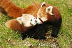 Panda Kiss | 출처: Fitforeverphotographer