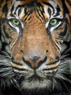 Tiger Head On cats-big-and-small