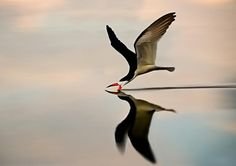 Black Skimmer Photograph