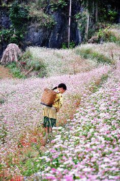 Tam Giác Mạch flowers _ Hà Giang _ Vietnam .