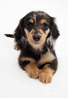 Gorgeous doxie