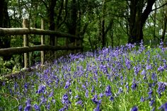 Top bluebell walks around the Brecon Beacons.