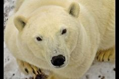 """""""Polar bear!"""" screamed Damien Reardon, after waking up to find a 300-pound bear in the kitchen of his family home in Newfoundland."""