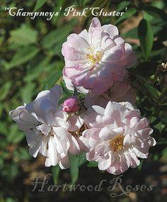 champneys pink cluster noisette rose - Bing Images