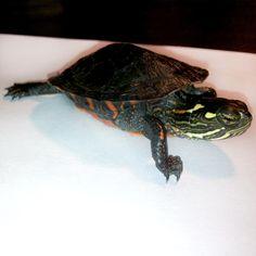 Pepper, my juvenile Midland painted turtle.