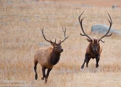 elk | Flickr - Photo Sharing!