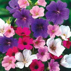 Geranium Hardy Mixed - Parkers Wholesale