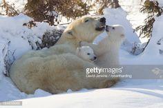 Polar Bear And Cubs Wapusk National Park Churchill Hudson Bay Manitoba Canada North America Stock Photo | Getty Images