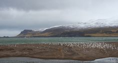 https://flic.kr/p/PGcNy3 | the gulls didn't mind the cold | Borgarfjordur Eystri is a fjord in the Eastern region of Iceland known for its perfect conditions for wildlife. We went there to photograph a puffin colony and on our way back we encountered this haven for all kinds of gulls.  PX500 | BR-Creative | chbustos.com