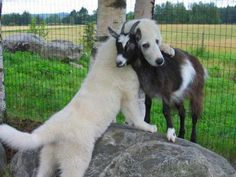 Now here is something you don't see every day, a dog hugging a baby goat.