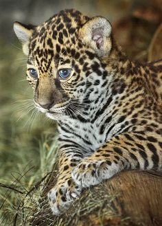 Ol' Blue Eyes Maderas, one of two new jaguar cubs at the San Diego Zoo, in a rare pensive moment. She recently turned a month old. Ocelot, Cute Baby Animals, Animals And Pets, Wild Animals, Beautiful Cats, Animals Beautiful, Big Cats, Cats And Kittens, Gato Grande