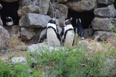 #Pinguins #BurgersZoo