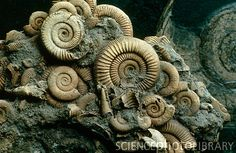 Ammonites -Germany  These are from the early Jurassic-(213-188 mya.)