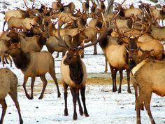Rocky Mountain Elk near Naches, Washington