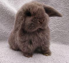 Mini Lop Bunnies, Mini Lop Rabbit, Holland Lop Bunnies, Cute Baby Bunnies, Pet Rabbit, Small Rabbit, Bunny Rabbits, Cute Bunny Pictures, Rabbit Pictures