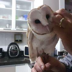 Quem não gosta?  Who don't like it?    #Barnowls #tytofurcata #tytoalba #bird #suindara #owls #loveowls #owlsnow #corujas #corujadaigreja #passaros #avederapina #animals #exoticbirds #exoticpets #pets #pet #estimacao #owl #owladdicted #coruja #animal #animallover #estimacao #birdslover #love #amor #carinho #friends