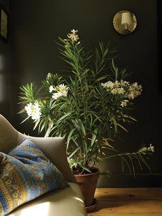 Indoor Potted Oleander
