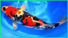 Download 7700 Koleksi Gambar Ikan Koi Kumpay HD Terbaik