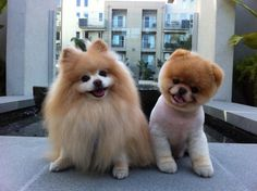 I saw a white Pomeranian once that was cut like the one on the right. It was the cutest dog I had ever seen-like an anime dog!